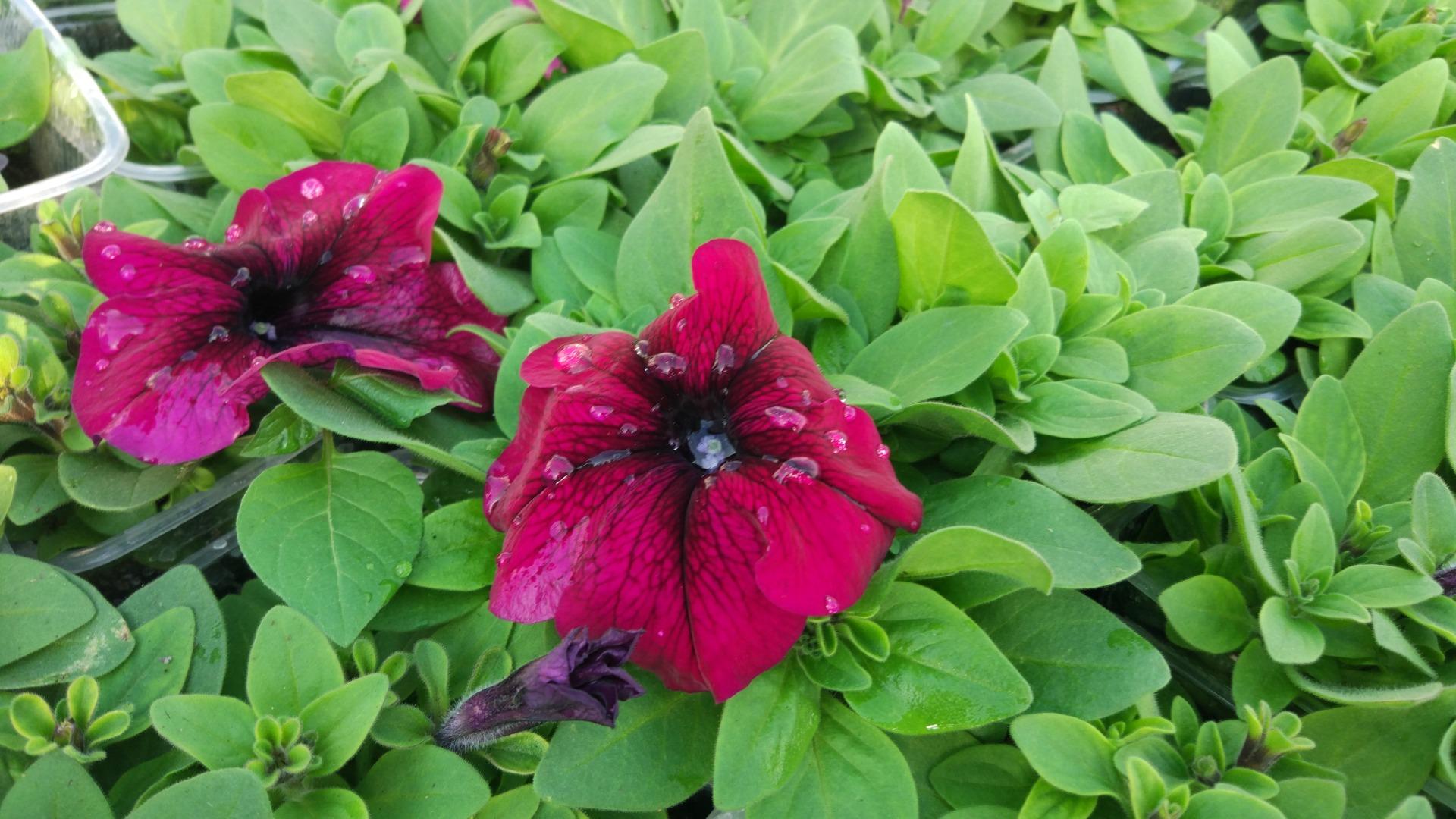 Петуния воронеж цветущая бургунди темно-красная