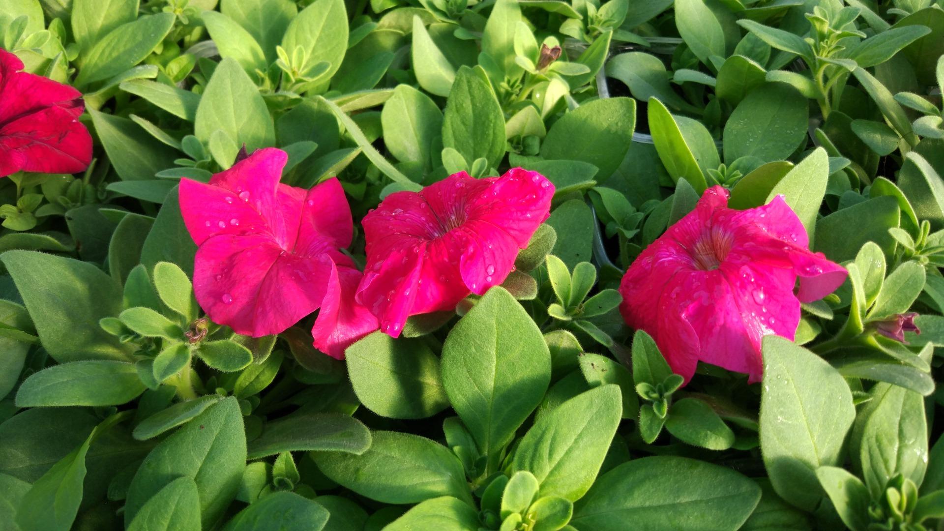 Петуния воронеж цветущая розовая