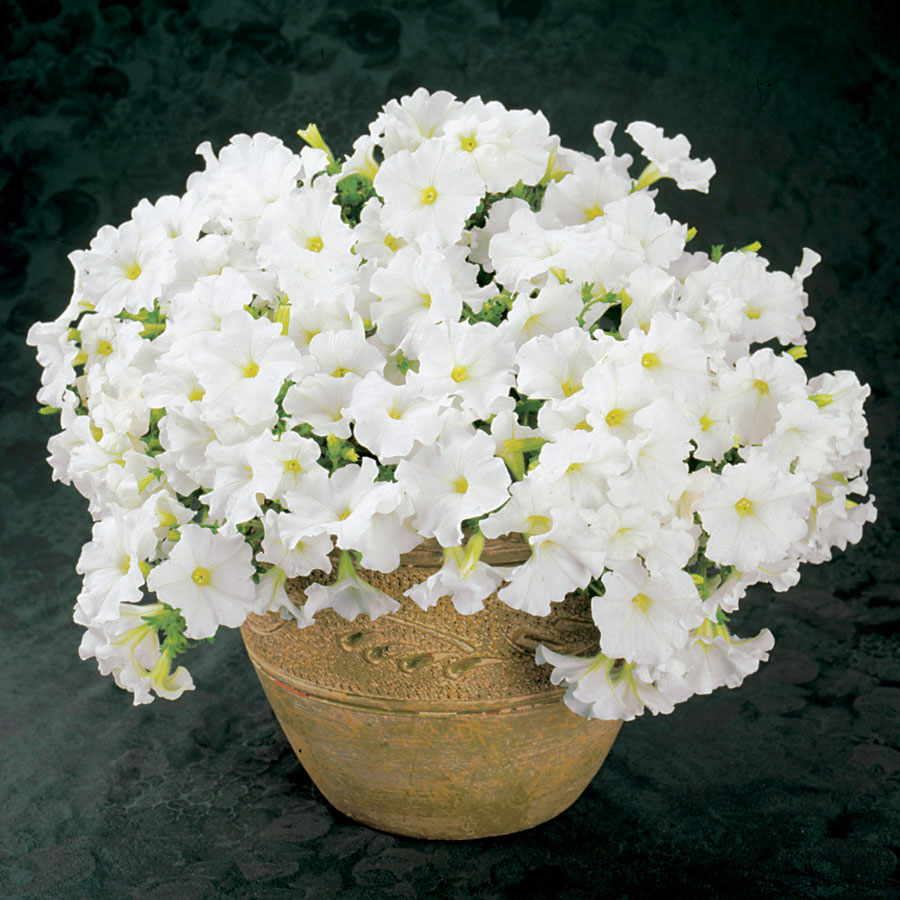 Петуния Вайт Дримс Белая Цветущая